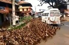 Hàng ngàn con vịt xuống phố gây tắc nghẽn giao thông ở Ấn Độ