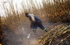2014 có thể là năm thất bát của ngành mía đường