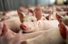 Nga ngăn cản EU kiện lên WTO vụ cấm nhập khẩu thịt lợn