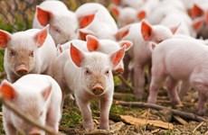 Phát hiện trường hợp cúm lợn châu Phi đầu tiên tại Ba Lan