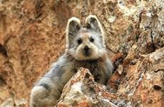 [Photo] Xuất hiện loài thỏ Ili pika có vẻ ngoài giống gấu Teddy