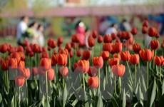 [Photo] Chiêm ngưỡng vẻ đẹp của vườn hoa tulip đang mùa nở rộ