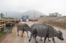Trâu chết hàng loạt không rõ nguyên nhân ở tỉnh Cao Bằng