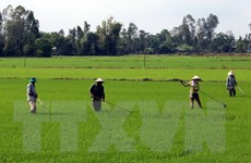 Hà Nội xây dựng thêm 17 điểm sản xuất lúa hàng hóa chất lượng cao