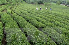 Hà Nội: Đưa tiến bộ khoa học kỹ thuật vào phát triển cây chè