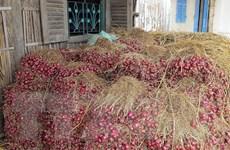 Hành tím Sóc Trăng đã có đầu ra trong mùa thu hoạch tới