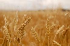 Báo Mỹ dự đoán Nga sắp thành cường quốc xuất khẩu ngũ cốc