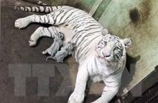 Báo động nguy cơ tuyệt chủng hổ tự nhiên ở Việt Nam