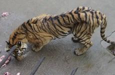 Hơn 1.800 con hổ được nuôi trong công viên để... ngâm rượu
