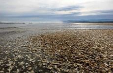 Cá voi, cá mòi chết thành đống, tràn ngập bờ biển Chile