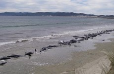 Hàng chục cá voi chết do mắc cạn tại bờ biển Mexico
