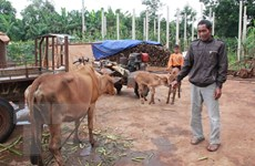 Tìm ra nguyên nhân khiến bò chết bất thường ở Đắk Lắk