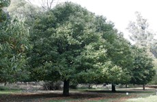 Công nhận hai cây bộp ở Thừa Thiên-Huế là cây Di sản Việt Nam