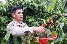 Càphê Việt Nam đang tìm kiếm cơ hội tại thị trường Anh