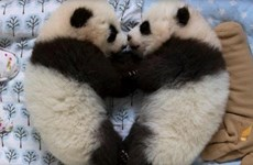 Cả thế giới tìm tên cho cặp gấu trúc sinh đôi tại Vườn thú Atlanta
