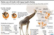[Infographics] Hươu cao cổ trước mối nguy tuyệt chủng