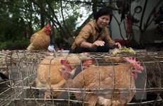 Bệnh nhân nhiễm virus cúm gia cầm ở Trung Quốc đang nguy kịch