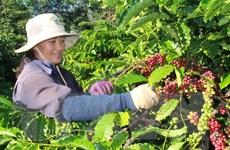 Brazil có thể sẽ nhập khẩu càphê Robusta từ Việt Nam