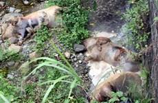 Xác lợn chết la liệt, bốc mùi hôi thối tại xã đạt chuẩn nông thôn mới