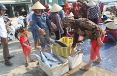 Ngư dân Hà Tĩnh trúng lớn mẻ cá Thu Trồi, thu về hàng trăm triệu đồng