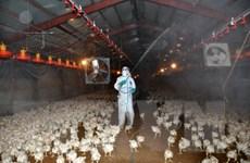 Virus cúm gia cầm bắt đầu xuất hiện trở lại tại Đài Loan