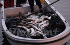 Hà Nội: Cá lại tiếp tục chết, bốc mùi hôi thối ở hồ Hoàng Cầu