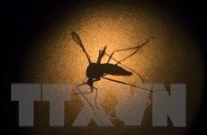 Brazil thả muỗi mang vi khuẩn ngăn ngừa sốt xuất huyết ra môi trường