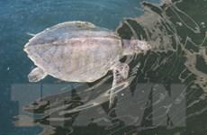 Báo động tình trạng ngày càng ít rùa biển lên bờ đẻ trứng