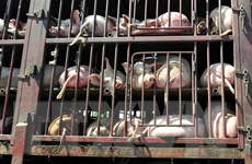 Bùng phát dịch cúm lợn châu Phi ở Romania, tiêu hủy 140.000 con