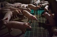 Trung Quốc tuyên bố đã kiểm soát dịch cúm lợn châu Phi