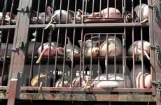 FAO: Dịch cúm lợn tại Trung Quốc có khả năng lan rộng tại châu Á