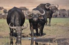 Giẫm đạp lên nhau khi bị sư tử xua đuổi, 400 con bò rừng chết đuối