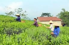 Tìm giải pháp để xây dựng thương hiệu chè đặc sản Việt Nam