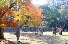 Đến thăm công viên Nara độc đáo của Nhật Bản qua những bức ảnh