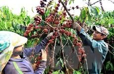 Càphê là mặt hàng xuất khẩu số một của Việt Nam vào thị trường Algeria