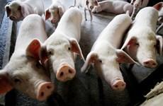 Dịch tả lợn lây lan nguy hiểm, Nhật Bản triệu tập cuộc họp khẩn