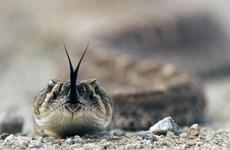 WHO: 200 người thiệt mạng mỗi ngày do bị rắn độc cắn trên thế giới
