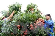 Bắc Giang vào vụ thu hoạch vải, nông dân thu lãi gấp đôi năm trước