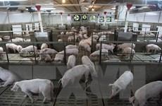 Phản ứng của Canada sau khi Trung Quốc cấm nhập khẩu thịt lợn
