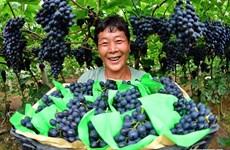 Hình ảnh những người nông dân khắp nơi trên thế giới thu hoạch nho