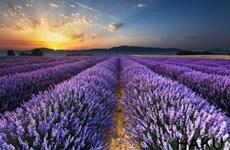 [Video] Những cánh đồng hoa oải hương thơ mộng tại Tây Ban Nha