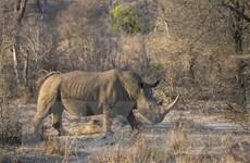 Nam Phi bắt giữ số lượng kỷ lục nghi phạm săn trộm tê giác
