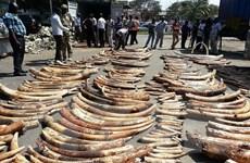 Cuộc tranh cãi chưa có hồi kết về buôn bán ngà voi ở châu Phi