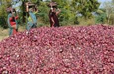 Giá hành tây thế giới tăng vọt sau lệnh cấm xuất khẩu của Ấn Độ