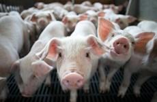 Trung Quốc ứng dụng chăn nuôi công nghệ cao, nhận dạng khuôn mặt lợn