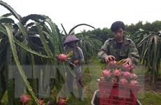 [Video] Tiềm năng xuất khẩu của trái thanh long Việt Nam