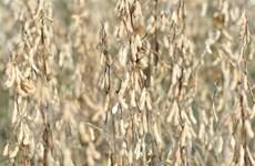 Món quà Giáng sinh sớm của nông dân trồng đậu tương ở Mỹ