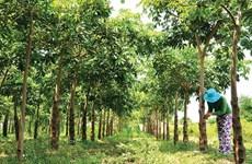 [Video] Hành trình dài của cây trôm với người nông dân Bình Thuận