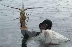 Tìm đầu ra ổn định cho sản phẩm tôm hùm trong mùa dịch COVID-19