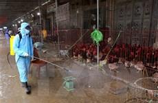 Hòa Bình xuất hiện ổ dịch cúm gia cầm A/H5N6 tại Lương Sơn